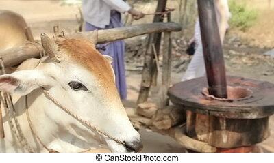 moulin, vache