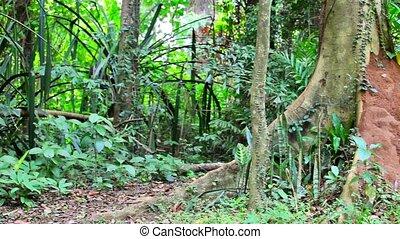 Mound near big tree in rainforest - Video 1920x1080 - Mound...
