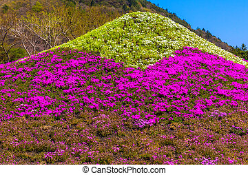 Mound of moss phlox Mount Fuji