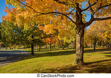 mount-royal, 蒙特利尔, 树, 秋季, 颜色, canada., 枫树