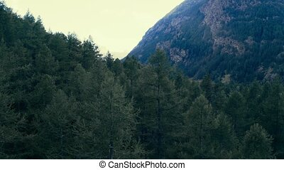 Mountain appears behind pine wood, overview