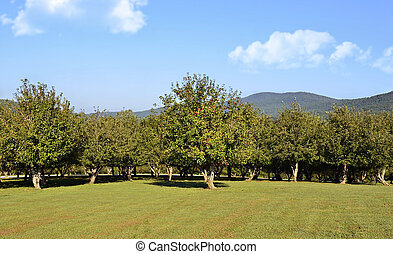 Mountain Apple Orchard - Distant view of mountains behind an...