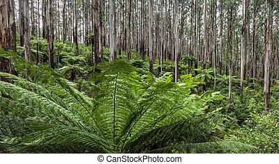Mountain Ash and Tree Ferns Australian Rainforest