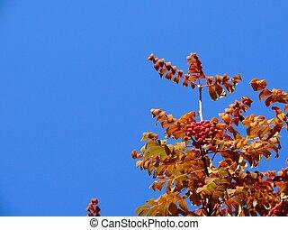 Mountain ash. Autumn. The sky.