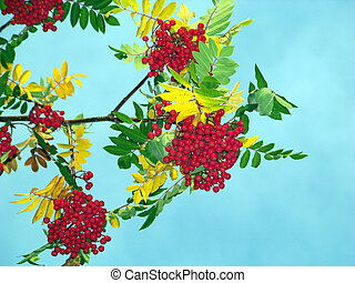 Mountain ash berries and leaves against blue sky