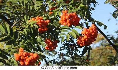 mountain ash berries ripe on the tree