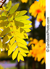 Gold branch of a mountain ash against the coming sun