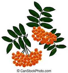 Mountain ash branches set isolated on the white background. Vector illustration.