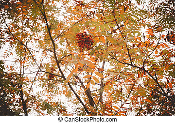 Mountain Ash in Autumn