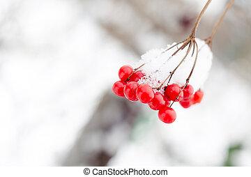 Mountain Ash in Snow