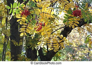 Mountain Ash Leaves and Berries