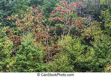 Mountain ash ordinary (Sorbus aucuparia) in Ontario forest.