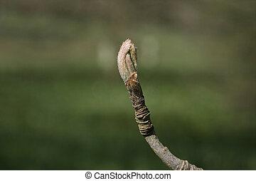 Mountain ash, Sorbus aucuparia, bud on twig