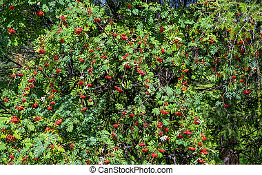 mountain ash tree with ripe fruits