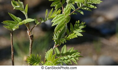 Mountain ash, young shoots and green leaves close-up, ...