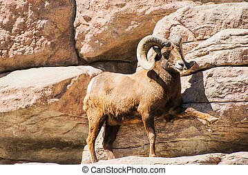 Mountain Bighorn Sheep