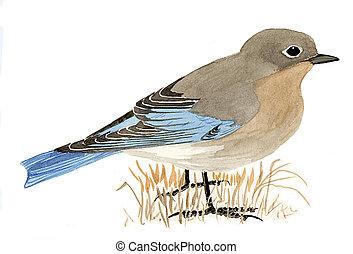 Mountain Bluebird -  female - Sialia currucoides