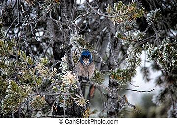 Mountain Bluebird in Frosty Tree