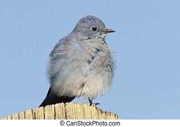 Mountain Bluebird on a post - Male Mountain Bluebird (Sialia...