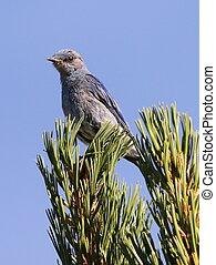 Mountain Bluebird on a Tree - A Mountain Bluebird on a tree