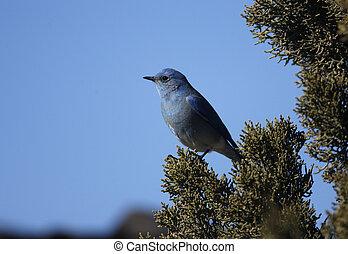 Mountain bluebird, Sialia currucoides, New Mexico, USA,...