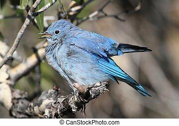 Mountain Bluebird (Sialia currucoides) - Male Mountain...