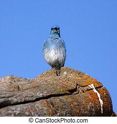 Mountain Bluebird (Sialia currucoides) - Mountain Bluebird...