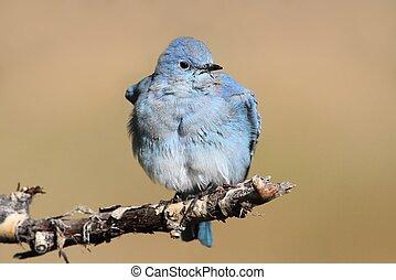Mountain Bluebird - Male Mountain Bluebird (Sialia...