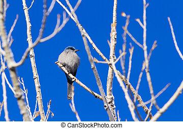 Mountain Bluebird in the Winter.