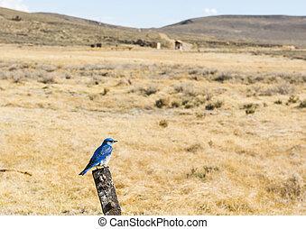 Mountain Bluebird - Mountain bluebird (Sialia currucoides)...