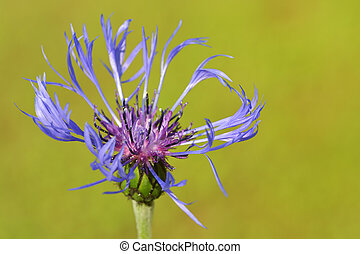 Mountain bluet ( Centaurea montana)
