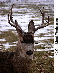 Mountain Buck - Male Mule Deer in Colorado mountains