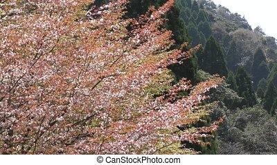Mountain cherry blossoms (Cerasus jamasakura) with young...