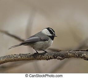 Mountain Chickadee Bird on a Branch
