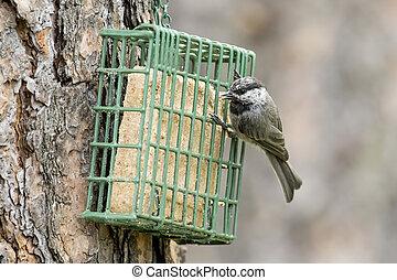 Mountain Chickadee on a suet cage.