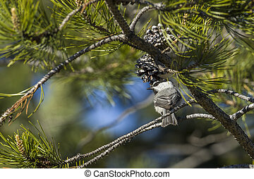Mountain chickadee perched on a branch.