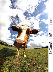 cow photographed with fish eye lens