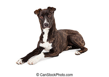 A beautiful Mountain Cur breed dog with a brindle coat laying down and looking at the camera