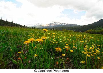 Mountain dandelions
