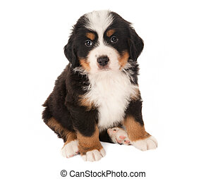 Mountain dog puppy - 6 weeks old Bernese mountain dog puppy ...