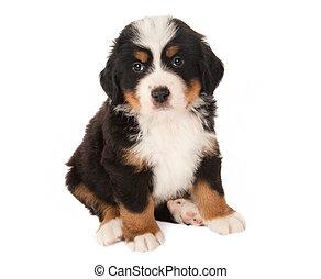 Mountain dog puppy - 6 weeks old Bernese mountain dog puppy...