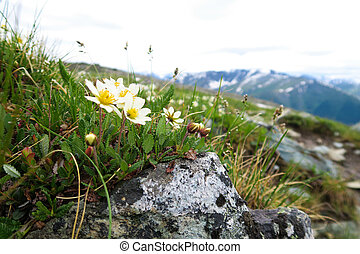Mountain field flowers growing on the rocks