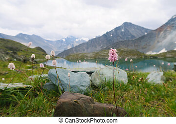 Mountain field flowers on the background of mountains and lake