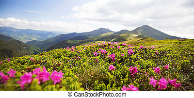 Mountain flower landscape, Rhododendron flowers