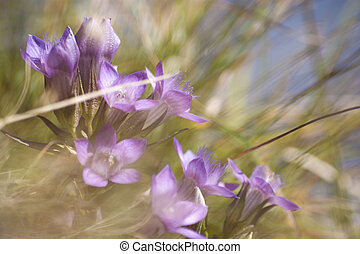 Mountain flowers, gentian in grass on the mountains of Austria