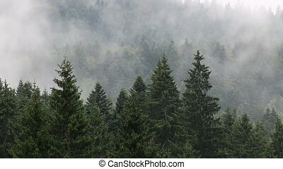 mountain forest in the fog