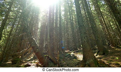 Mountain forest trees - Magical mountain forest with the...