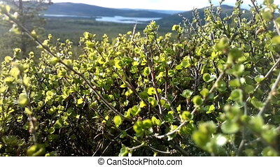 Mountain forest tundra. Look through dwarf trees in North taiga.