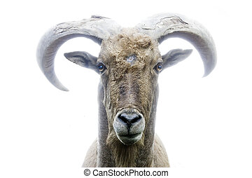 frontal photo of mountain goat with white background