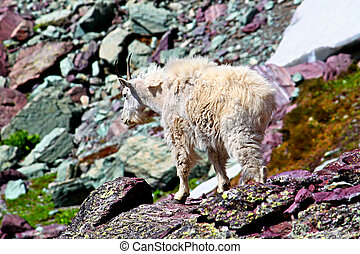 Mountain Goat Glacier National Park